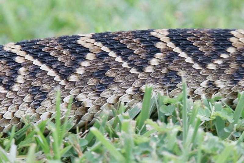 eastern-diamondback-rattlesnake-body-recently-shed-skin-_y9c3354-indian-lake-estates-fl