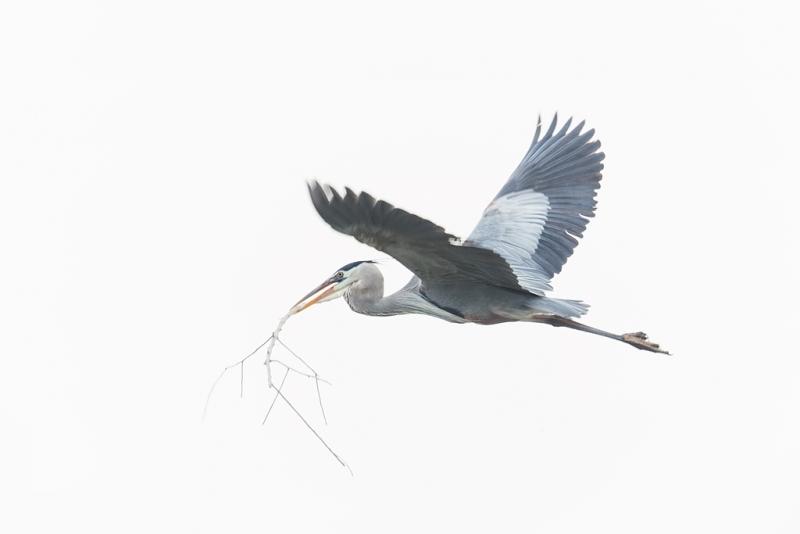 great-blue-heron-flying-w-nesting-material-_09u6115-alafia-banks-tampa-bay-fl