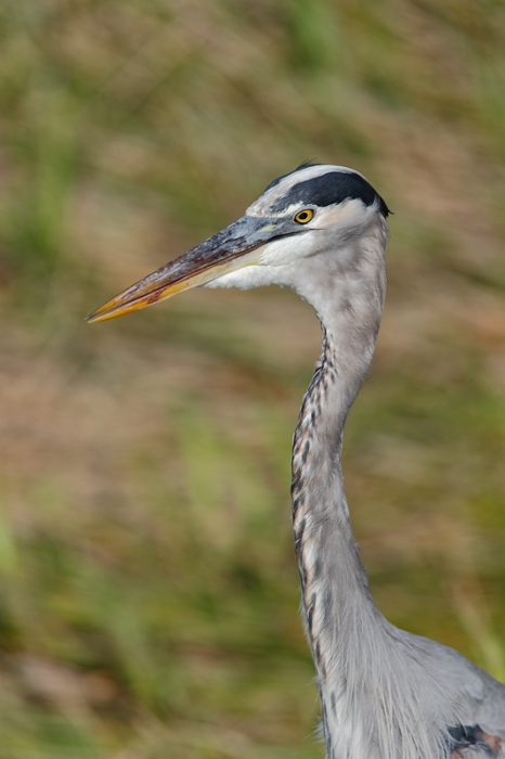great-blue-heron-head-and-neck-_09u7885-anhinga-trail-everglades-national-park-fl