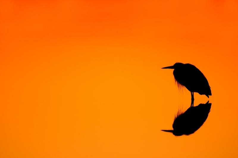 great-blue-heron-orange-gold-sunrise-silh-1-6-sec-iso-400-_10j5861-merritt-island-nwr-titusville-fl