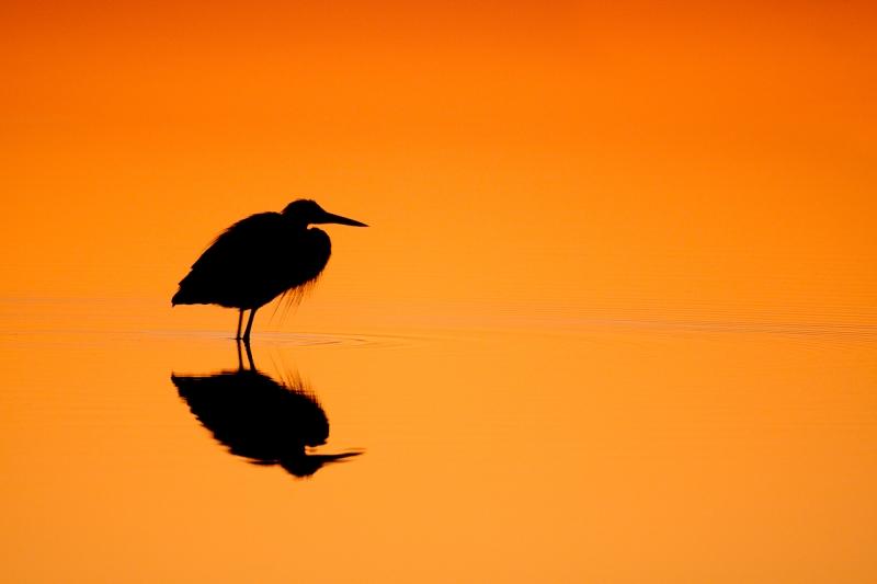 great-blue-heron-sunrise-orange-gold-silh-iso-3200-1-30-sec-_10j5868-merritt-island-nwr-titusville-flc