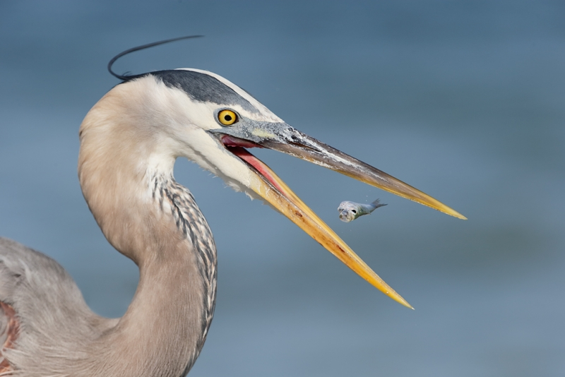 great-blue-heron-with-baitfish_09u1001-saniel-fishing-pier-sanibel-fl