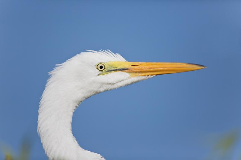 great-egret-fledged-young-head-portrait-_a1c0463-gatorland-kissimmee-fl