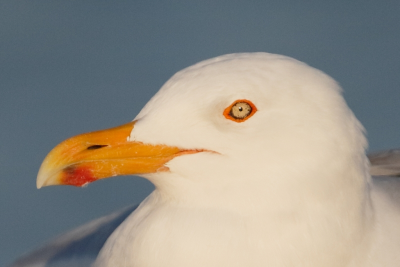 herring-gull-screen-capture-af-active-tight-crop
