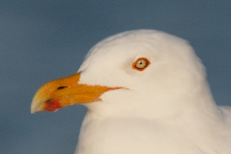 herring-gull-screen-capture-rear-focus-and-re-compose-tight-crop