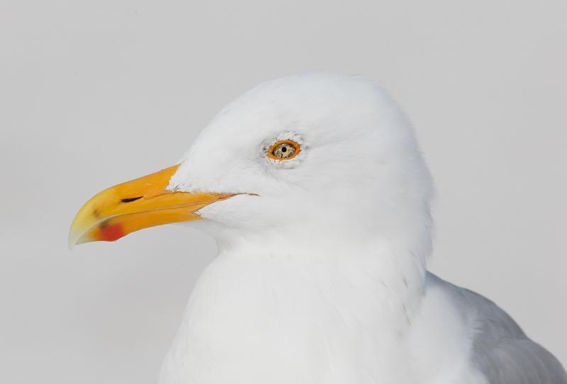 herring-gull-with-blush-yellow-legs-head-portrait-_09u2921-fort-desoto-park-pinellas-county-fl