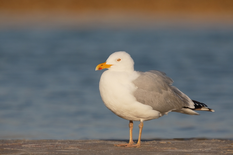 herring-gull-with-yellow-blush-legs-_a1c0104-fort-desoto-park-pinellas-county-fl