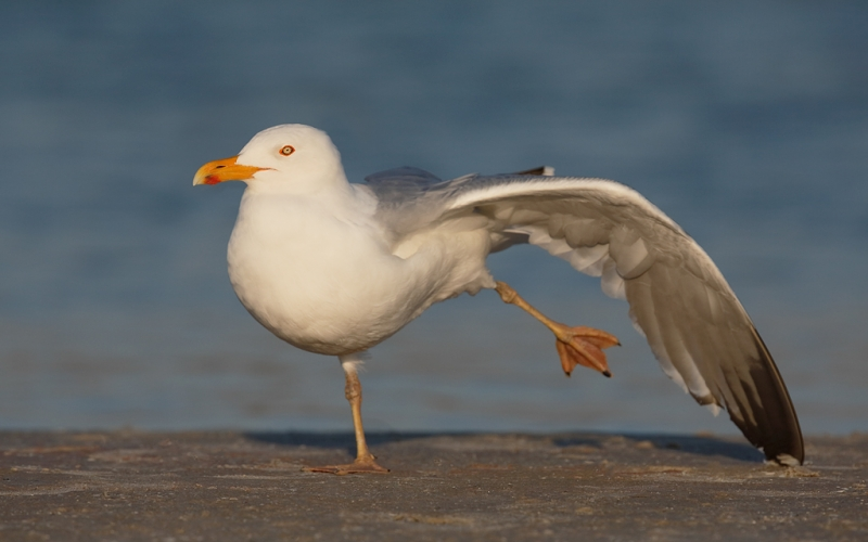 herring-gull-with-yellow-legs-elegant-near-wing-stretch-_a1c0125-fort-desoto-park-pinellas-county-fl_0