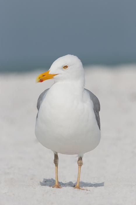 herring-gull-yellow-blush-legs-_09u2917-fort-desoto-park-pinellas-county-fl