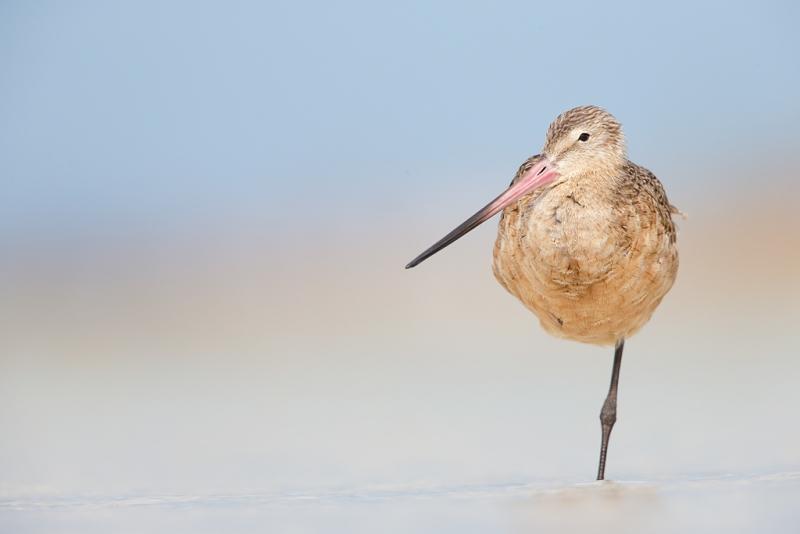 marbled-godwit-standing-on-one-leg-_q8r4980-fort-desoto-park-st-petersburg-fl