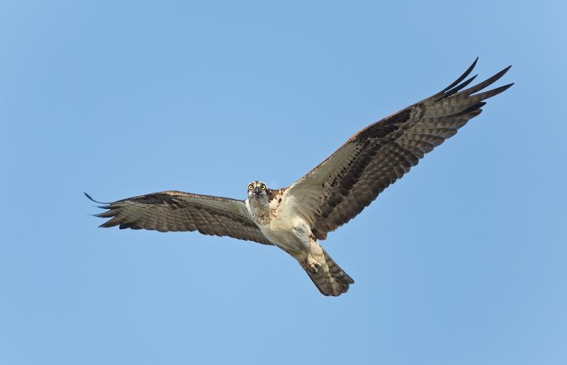 osprey-in-flight-screaming-_u1c0342-indian-lake-estates-fl