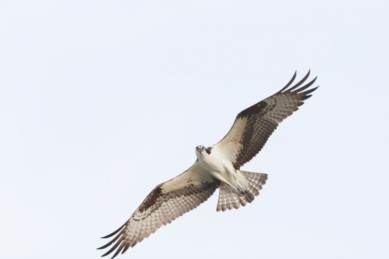 osprey-orig-_09u3014-indian-lake-estates-fl