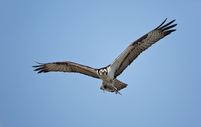 osprey-with-fish-800-hend-held-_a1c0190-indian-lake-estates-fl
