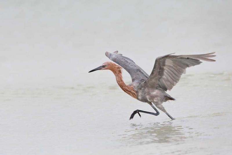 reddish-egret-fishing-w-wings-raised-_q8r4404-fort-desoto-park-st-petersburg-fl