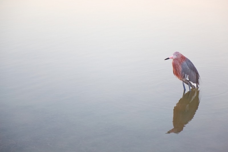 reddish-egret-pied-dark-morph-in-pre-dawn-_a1c9281-little-estero-lagoon-fort-myers-beach-fl