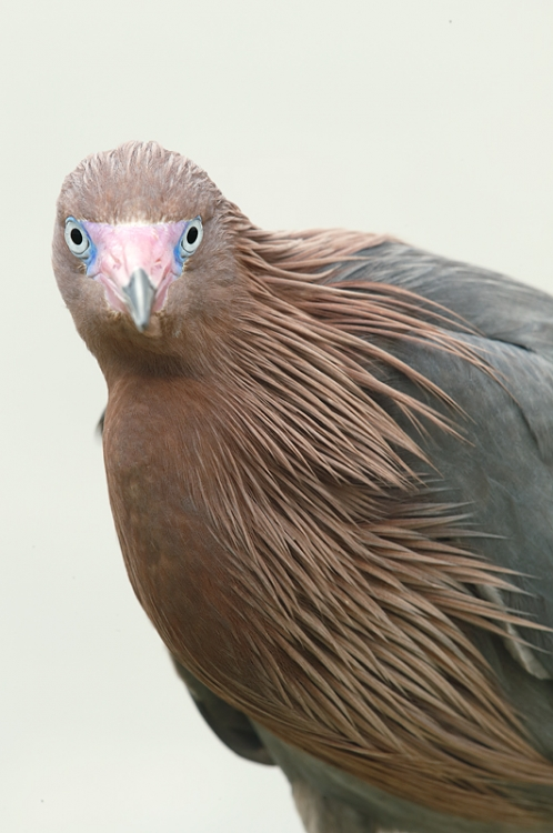 reddish-egret-tigt-vertical-head-shldrs-_09u0488-fort-desoto-park-pinellas-county-fl