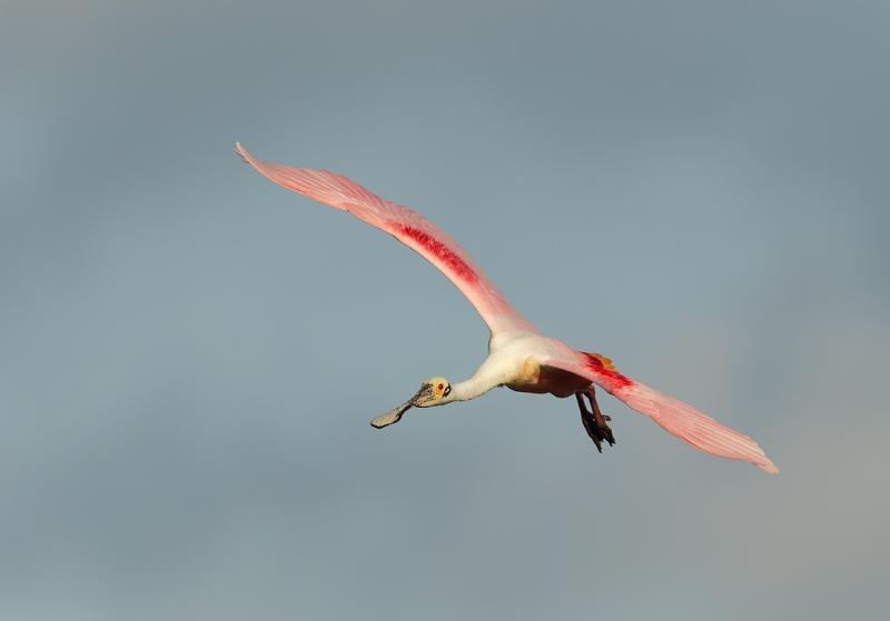 roseate-spoonbill-coming-in-for-landing-_09u0968-dit-dot-dash-rookery-bradenton-river-fl
