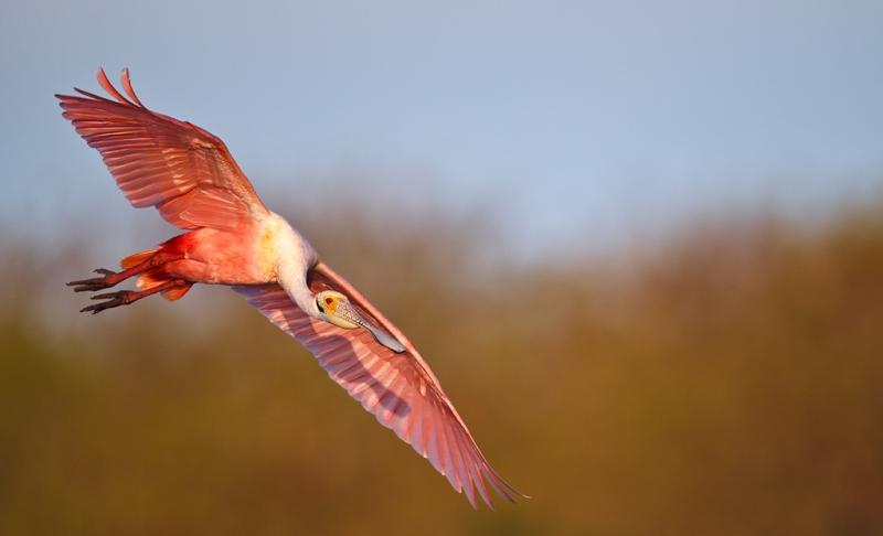 roseate-spoonbill-in-flight-eml-after-tg-dodge-burn-_y9c3545-alafia-banks-tampa-bay-fl