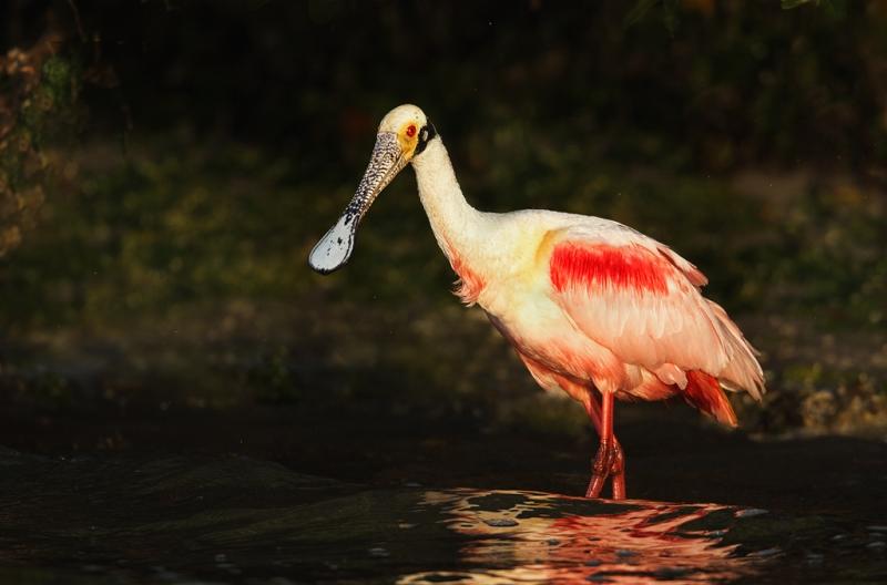 roseate-spoonbill-on-mangrove-beach-_w3c2970-alafia-banks-tampa-bay-fl