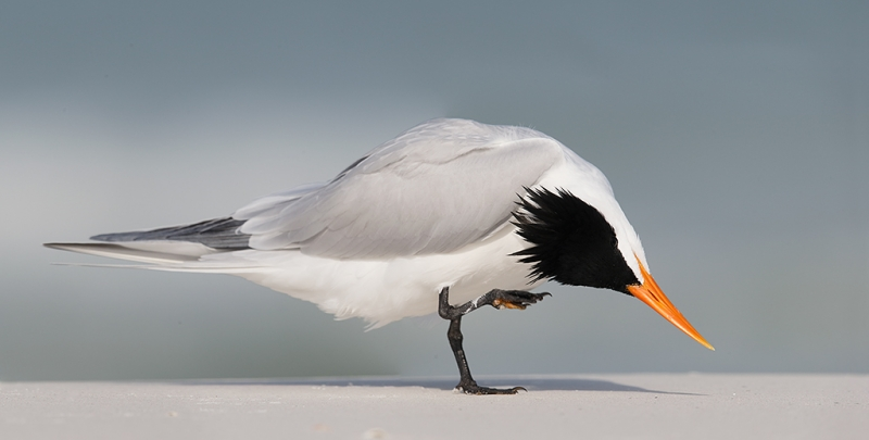 royal-tern-scratching-stitched-panorama-_09u2714-fort-desoto-park-pinellas-county-fl