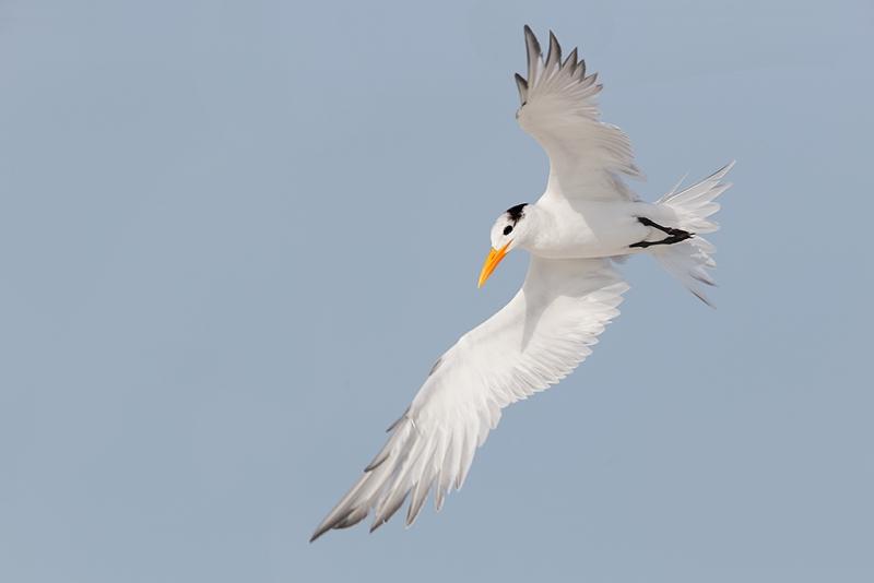 royal-tern-wheeling-in-flight-600-ii-handheld-_09u2694-fort-desoto-park-pinellas-county-fl
