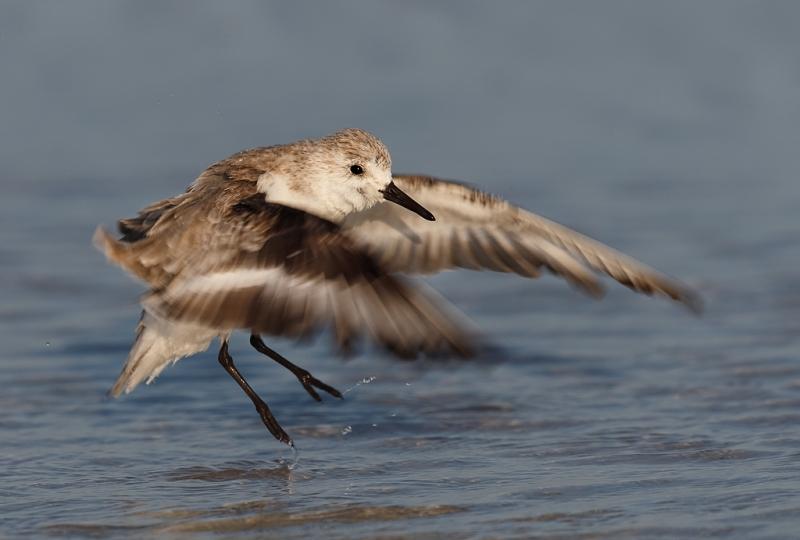 sanderling-jumping-after-bath-_q8r7383-east-gulf-drive-sanibel-fl