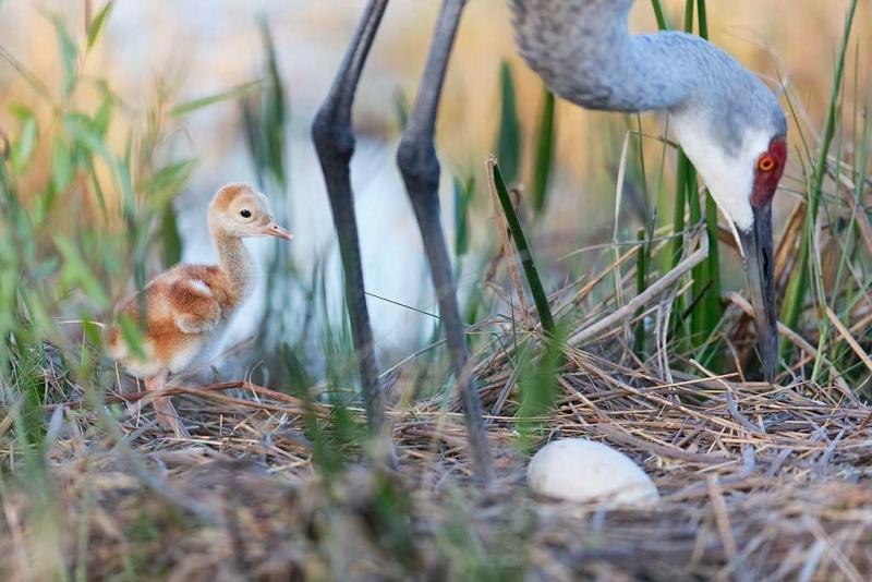 sandhill-crane-2-day-old-chick-with-egg-in-nest-_09u3061-indian-lake-estates-fl
