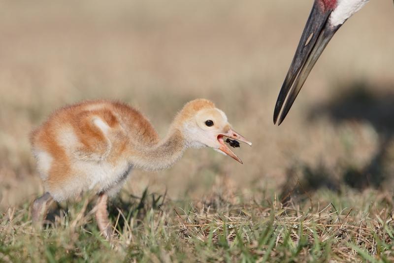 sandhill-crane-chick-eating-beetle-_09u4421-indian-lake-estates-fl