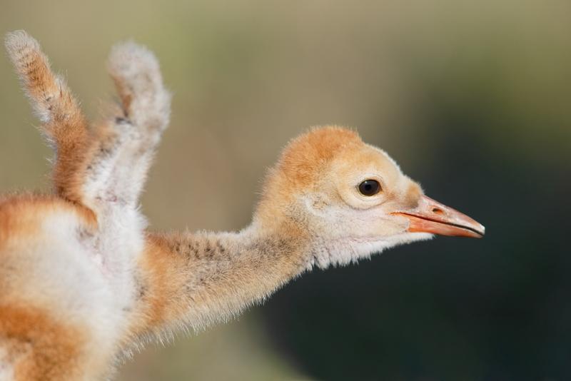 sandhill-crane-chick-flapping-wing-buds-_09u4517-indian-lake-estates-fl
