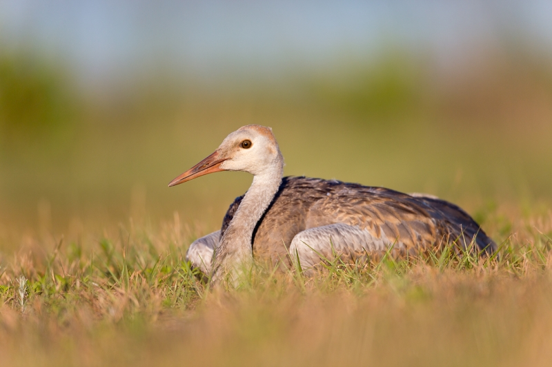 sandhill-crane-colt-lieing-on-grass-from-ground-level-_a1c5969-indian-lake-estates-fl