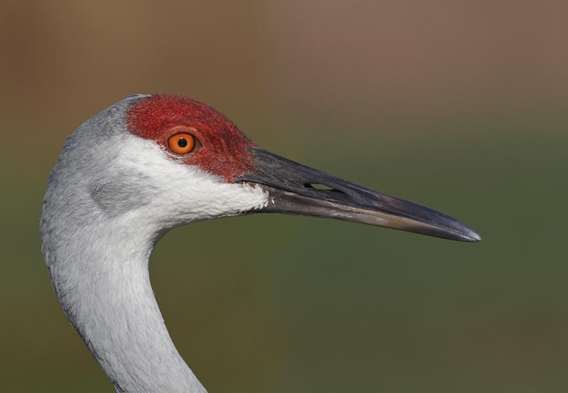 sandhill-crane-head-portrait-stitch-pano-_y9c9749-indian-lake-estates-fl