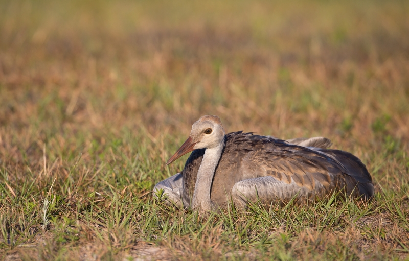 sandhill-crane-lieing-down-_a1c5929-indian-lake-estates-fl