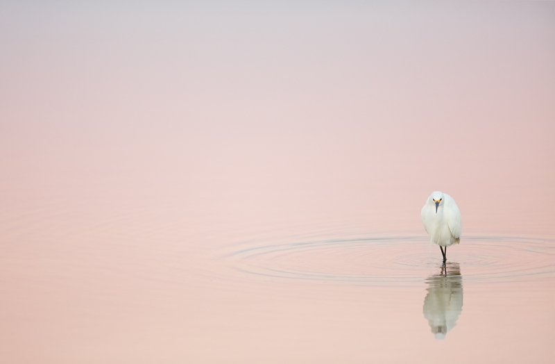 snowy-egreat-in-pre-dawn-pink-_a1c9248-little-estero-lagoon-fort-myers-beach-fl