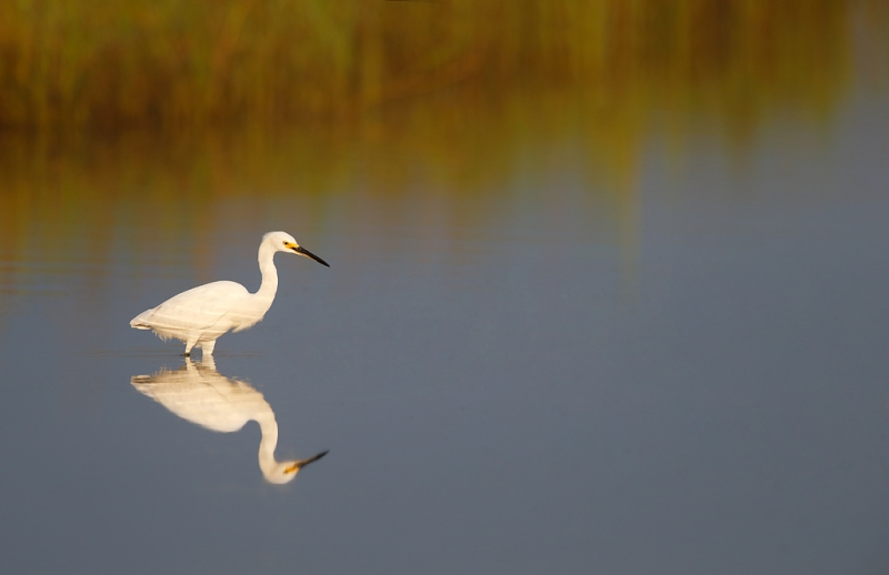 snowy-egret-early-morning-light-_q8r4247-fort-desoto-park-st-petersburg-fl