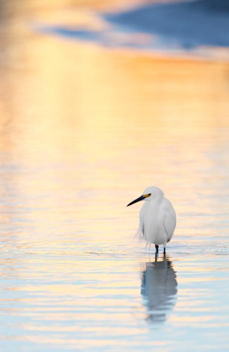 snowy-egret-in-pre-dawn-reflections-_09u8775-little-estero-lagoon-fort-myers-beach-fl