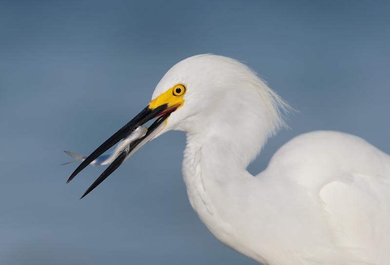 snowy-egret-with-baitfish-baited-_09u1144-saniel-fishing-pier-sanibel-fl
