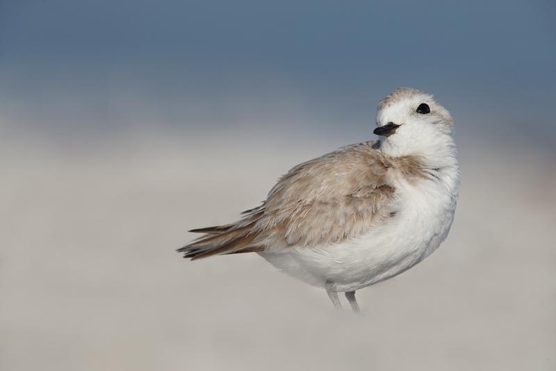 snowy-plover-female-looking-coy-_q8r7322-east-gulf-drive-sanibel-fl
