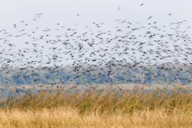 tree-swallow-flock-blur-_09u3135-indian-lake-estates-fl
