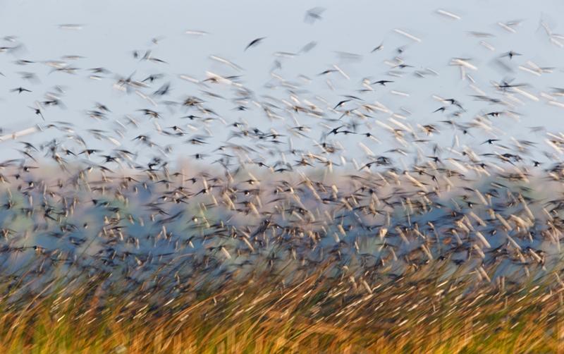 tree-swallow-flock-blur-iii-_09u3321-indian-lake-estates-fl