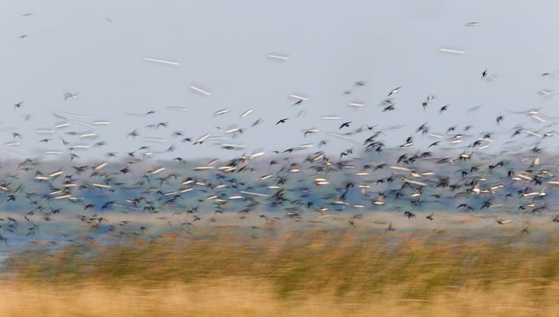 tree-swallow-flock-blur-iiii-_09u3158-indian-lake-estates-fl
