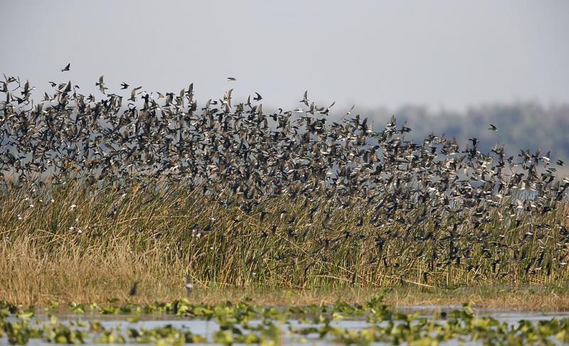 tree-swallows-sharp-i-_09u3107-indian-lake-estates-fl