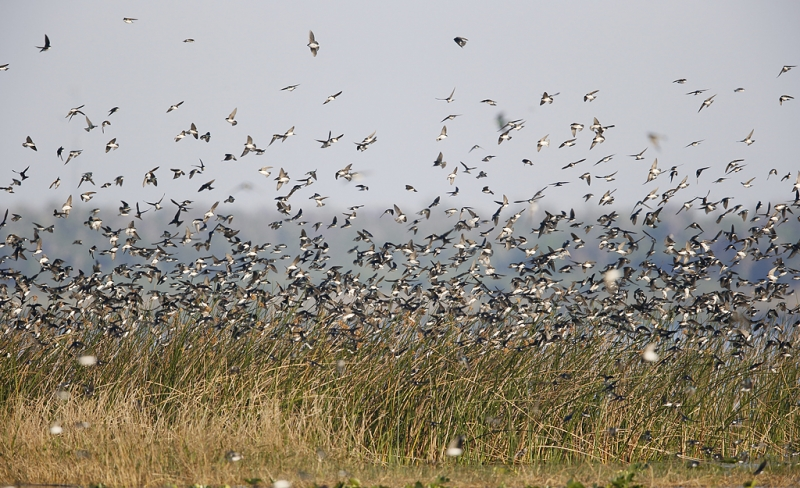 tree-swallows-sharp-ii-_09u3108-indian-lake-estates-fl