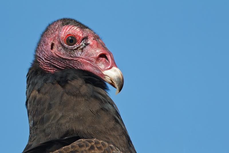 turkey-vulture-head-portrait-500-ii-2x-tc-hand-held-_y9c9662-indian-lake-estates-fl_0
