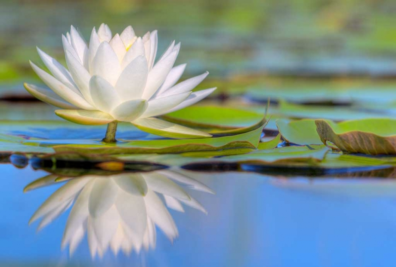 water-lily-white-hdr-_w3c0213-indian-lake-estates-fland6more_tonemapped