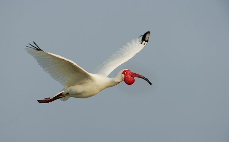 white-ibis-high-breeding-plumage-flight-3-images-combined-robt_vl8u6188-alafia-banks-tampa-bay-fl