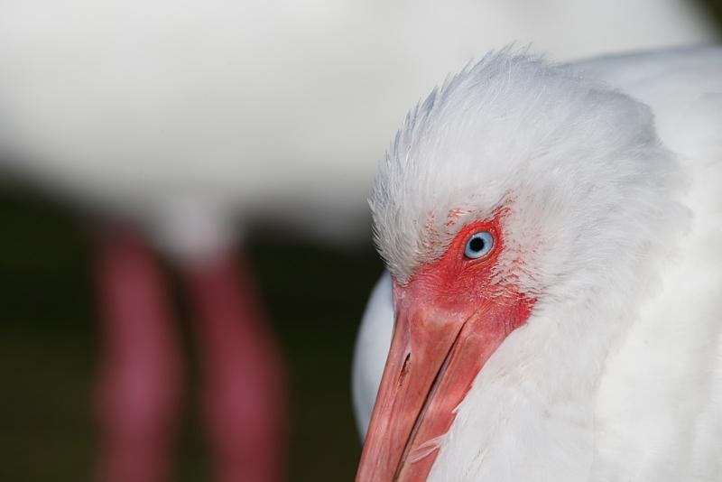 white-ibis-leg-juxtaposition-_09u4010-fort-desoto-park-pinellas-county-fl