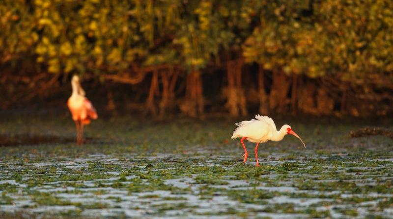 white-ibis-roesate-spoonbill-on-mangrove-mud-flat-_w3c2932-alafia-banks-tampa-bay-fl