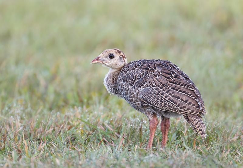 wild-turkey-poult-_w3c8160-indian-lake-estates-fl