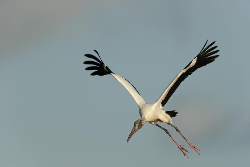 wood-stork-landing-_09u1015-dit-dot-dash-rookery-bradenton-river-fl