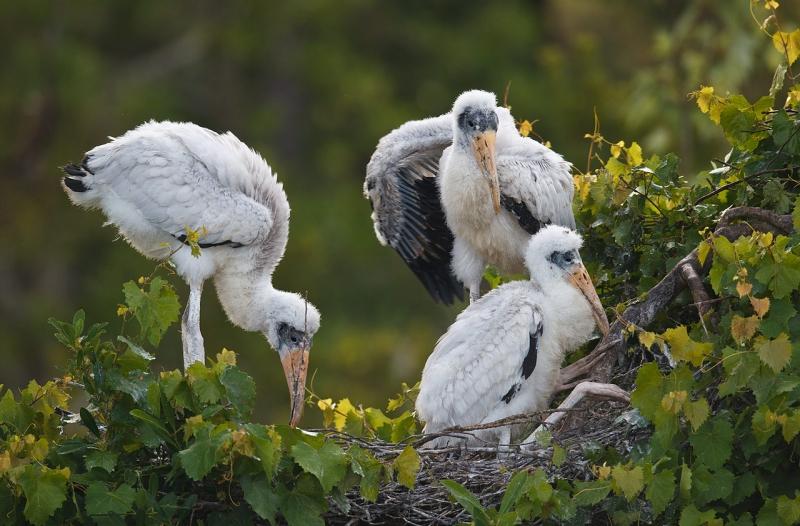 wood-stork-large-chicks-in-nest-_y9c3403-gatorland-kissimmee-fl